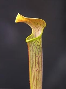 Sarracenia rubra - subsp. wherryi – Chatom Giant, Chatom, Alabama