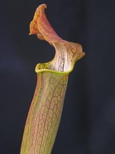 Sarracenia rubra - subsp. wherryi – Wavy Lid, Escambia Co., Florida