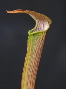 Sarracenia rubra - subsp. rubra - Long Lid, North Florida