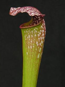 Sarracenia x excellens - minor x leucophylla