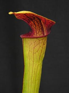 Sarracenia x harperi - minor x flava