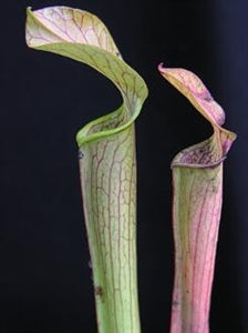 Sarracenia rubra - subsp. gulfensis – Red Form, Turkey Hen Creek, Florida