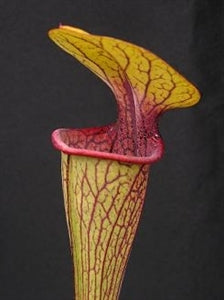 Sarracenia oreophila var. ornata - Dekalb Co., Georgia