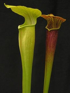 Sarracenia alata Collection