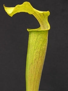 Sarracenia rubra subsp. alabamensis - Thorsby, Chilton Co., Alabama