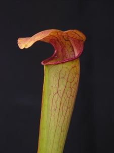 Sarracenia minor x oreophila