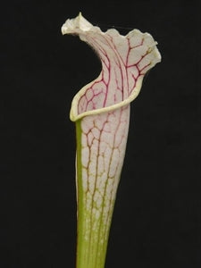 Sarracenia leucophylla var. leucophylla - White Topped, Purple Veins, Yellow Flower, Russel Road, Alabama