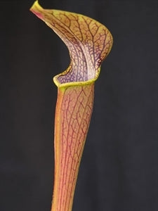 Sarracenia rubra subsp. jonesii - North Carolina