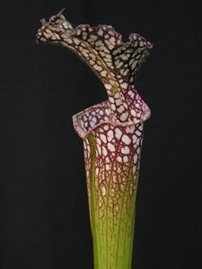 Sarracenia leucophylla - Purple & White Giant, Rt71, Nr. Althea, N FL