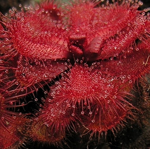 Drosera slackii - South Africa