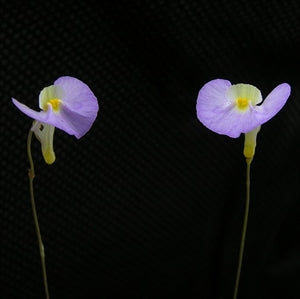 Utricularia Collection 1