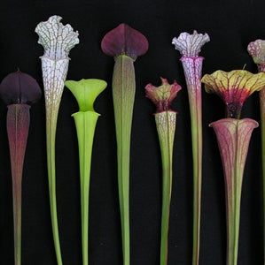 Sarracenia BIG Collection
