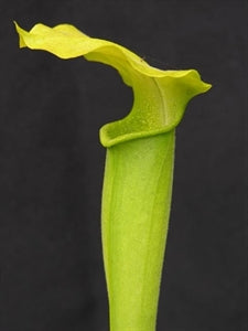 Sarracenia alata - f. viridescens - Washington Co., AL