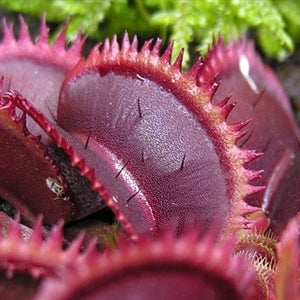 Dionaea muscipula - The Venus Fly Trap - cv Red Piranha