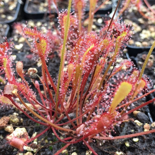 Drosera nidiformis - South Africa