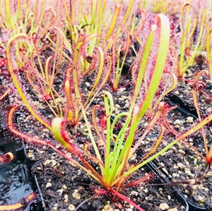 Drosera capensis - Bot River, Western Cape, South Africa
