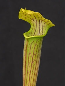 Sarracenia alata var. alata - Citronelle, Mobile Co., Alabama