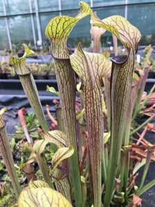 Sarracenia rubra - subsp. rubra - Heavily Veined, Edmund Co., SC