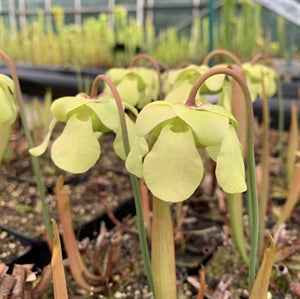 Sarracenia rubra var. wherryi - Yellow Flower, Deer Park, Washington Co., Alabama