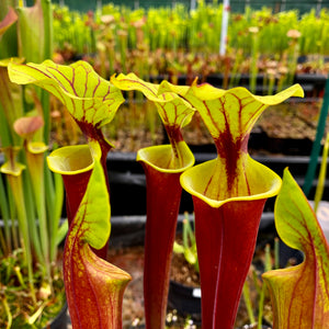 Sarracenia flava var. rubricorpora – Red tubed plant with green lid