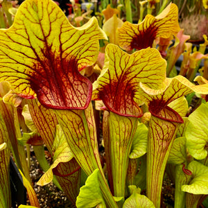 Sarracenia x catesbaei - Giant