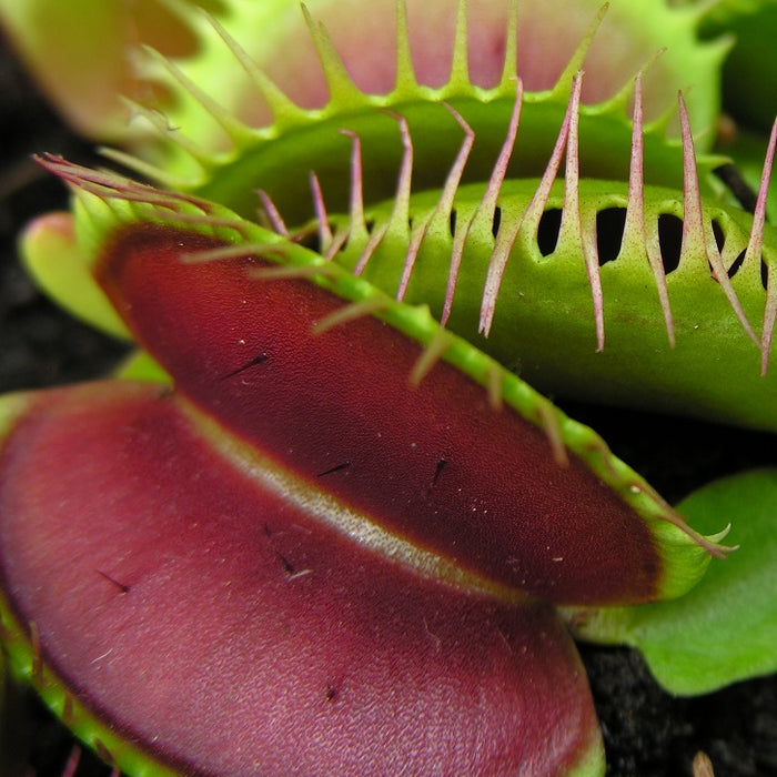 Dionaea muscipula - The Venus Fly Trap - Standard