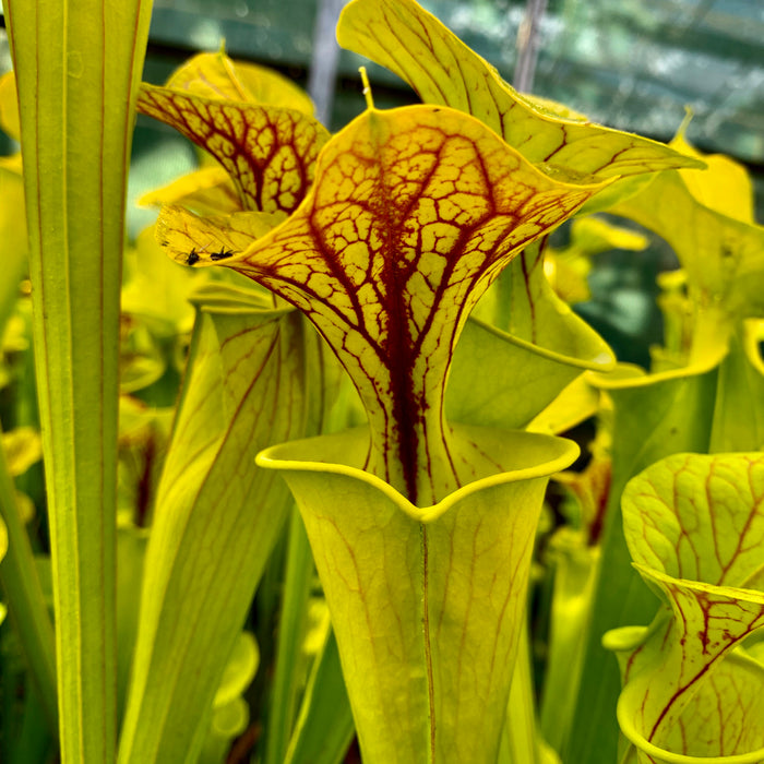 Sarracenia flava var. flava – Green Swamp, North Carolina