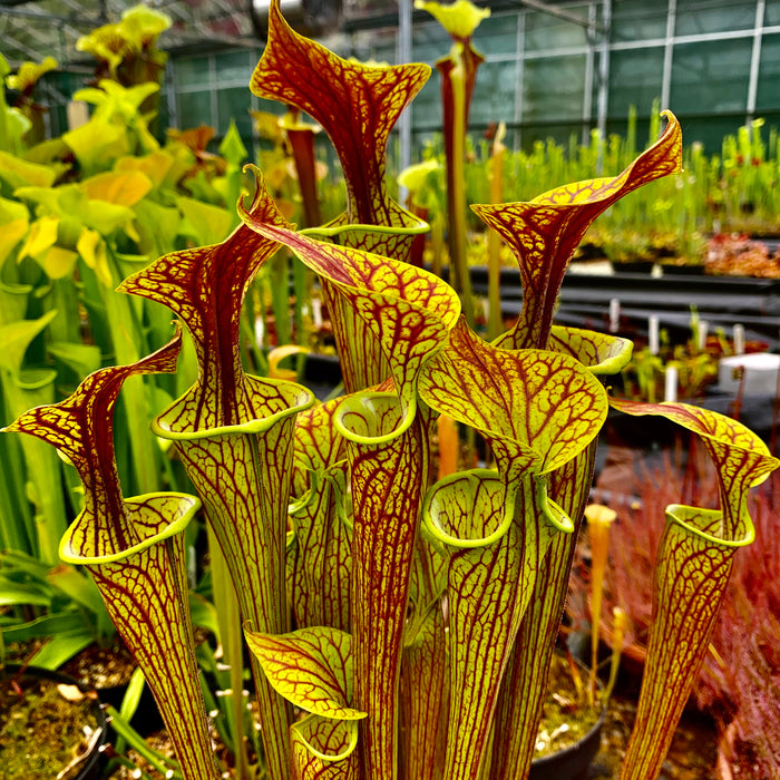 Sarracenia flava var. ornata - dwarf, Apalachicola, Franklin Co., Florida
