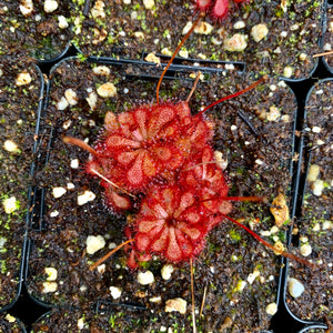 Drosera natalensis - South Africa