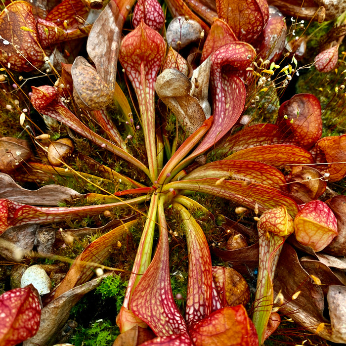 Sarracenia psittacina var. psittacina - Sandy Creek Road, Bay Co., Florida
