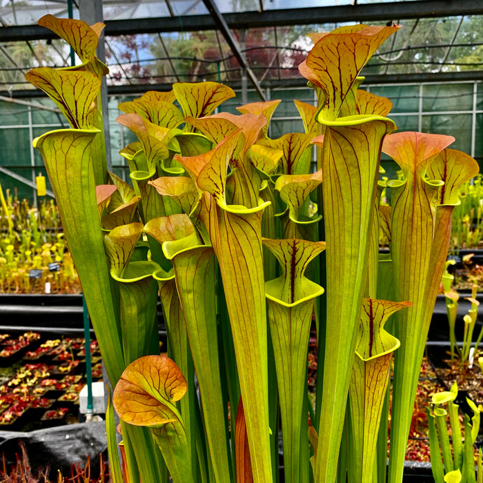 Sarracenia flava cv. 'Maxima' – Giant 'selfed' plant with copper top