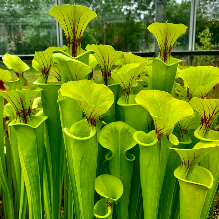 Sarracenia flava cv. 'Maxima' – Giant clone to 3 feet in height