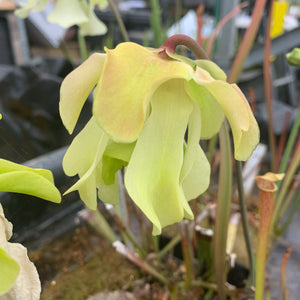 Sarracenia alata - var. alata - Typical form