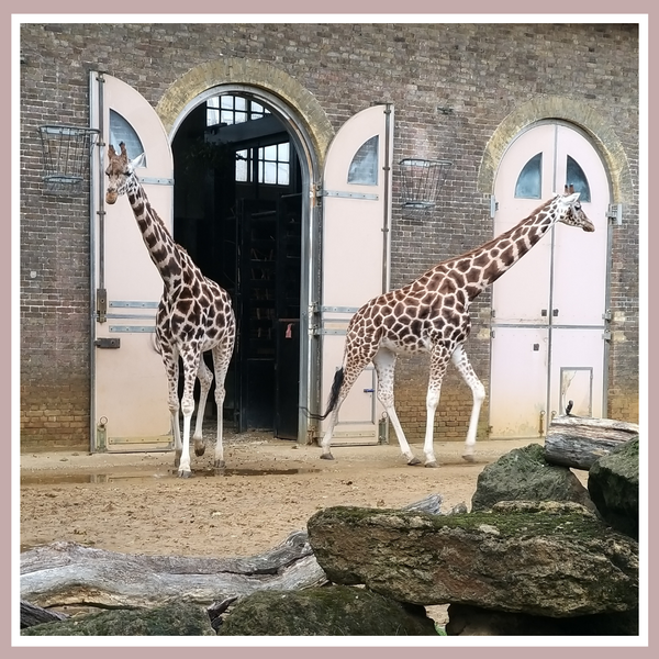 Giraffes at the ZSL London Zoo
