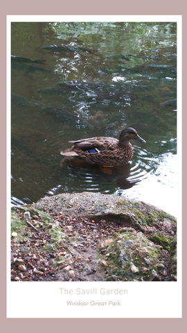A duck flashed its blue feather and let us take a photo... I should have bought a lottery ticket!