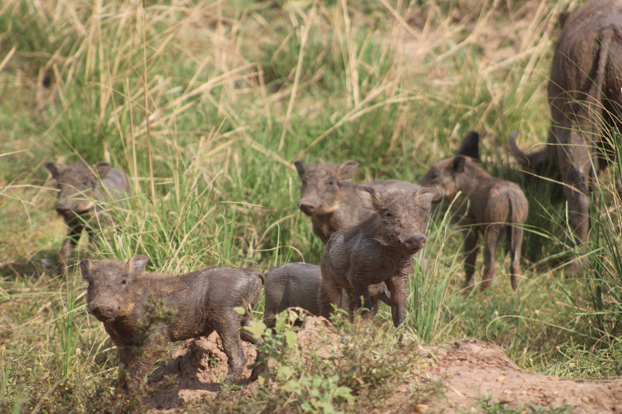 Baby wild boars running on African safari