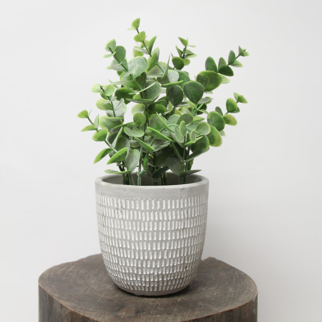Potted Eucalyptus Plant