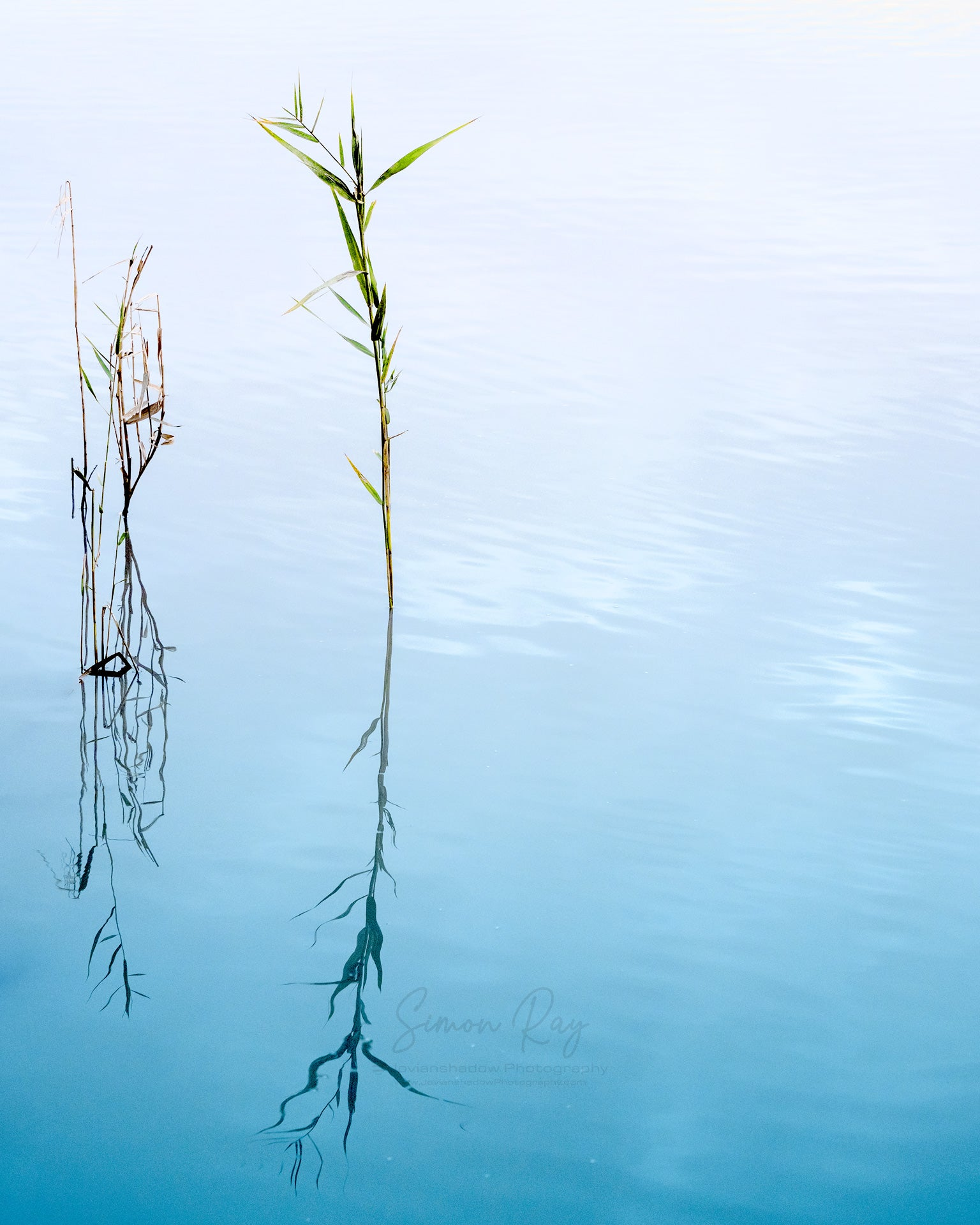 Reeds in a Lake