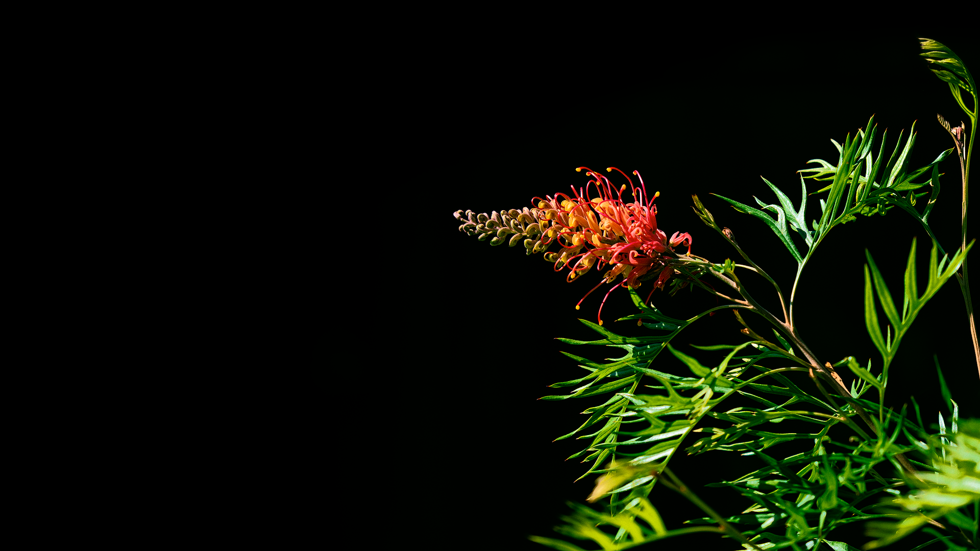Grevillea flower in the sunlight