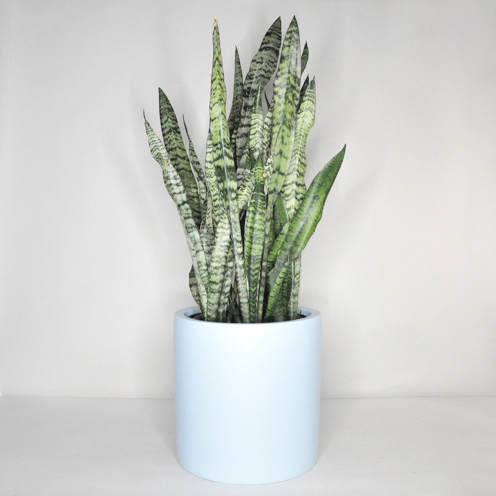 Load image into Gallery viewer, Zeylanica Sansevieria Plant 8""