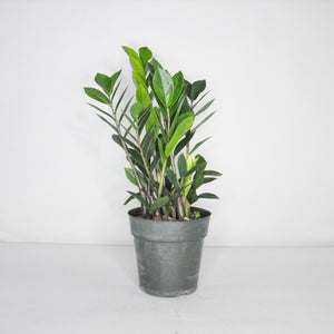 Load image into Gallery viewer, ZZ Plant 10""