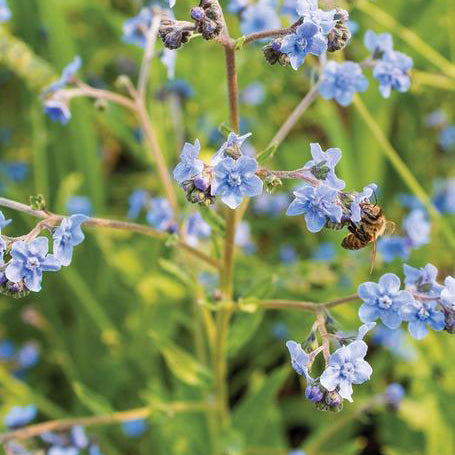 Forget-Me-Nots Seeds