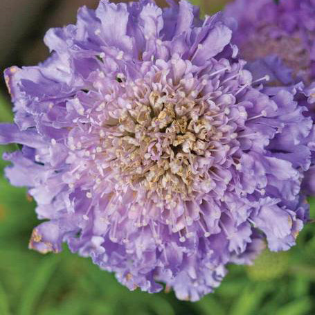 Load image into Gallery viewer, Scabiosa Seed Mix