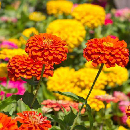 Giant Blue Point Zinnia Seed Mix