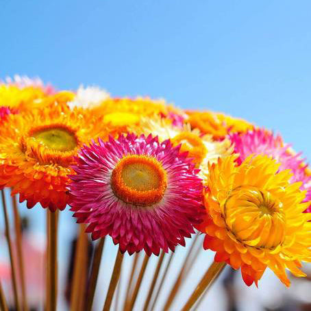 Strawflower Seed Mix