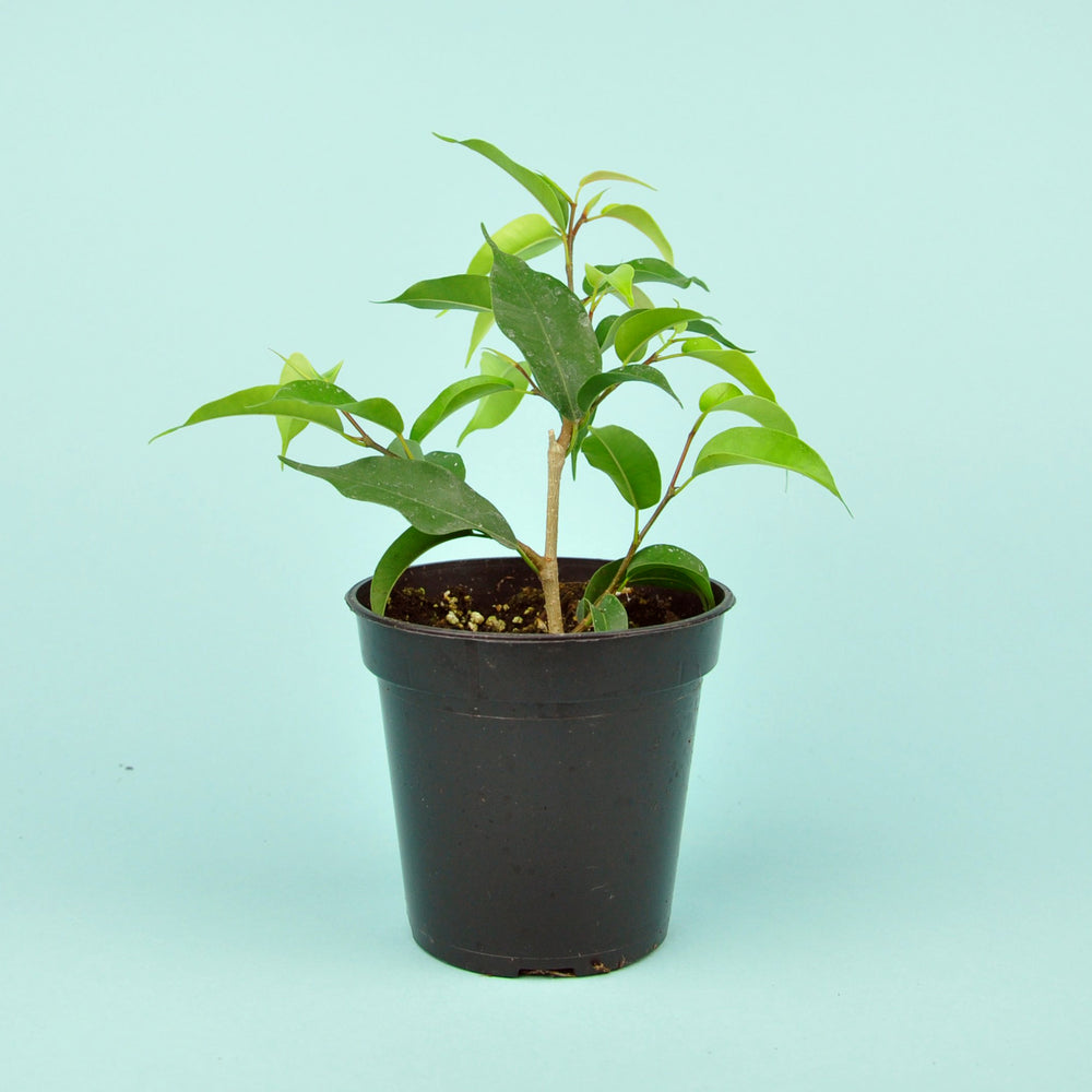 Load image into Gallery viewer, Ficus Benjamina Plant 3.5""
