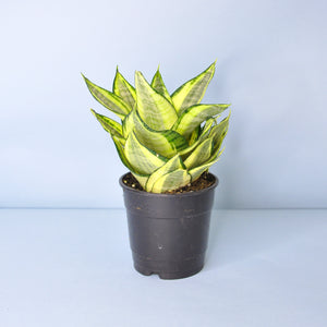 Load image into Gallery viewer, Bird's Nest Snake Plant 5""