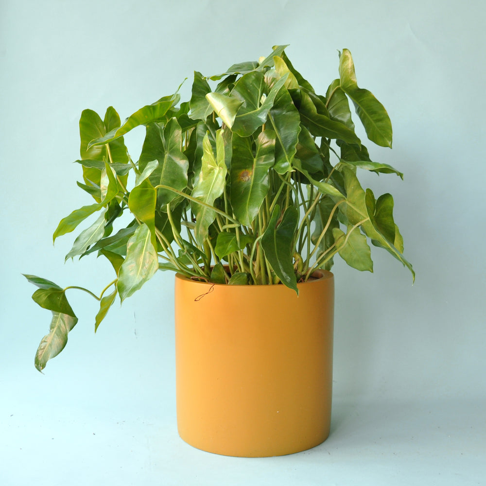 Philodendron Burle Marx 10""