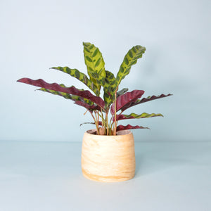 Load image into Gallery viewer, Calathea Rattlesnake Plant 3""
