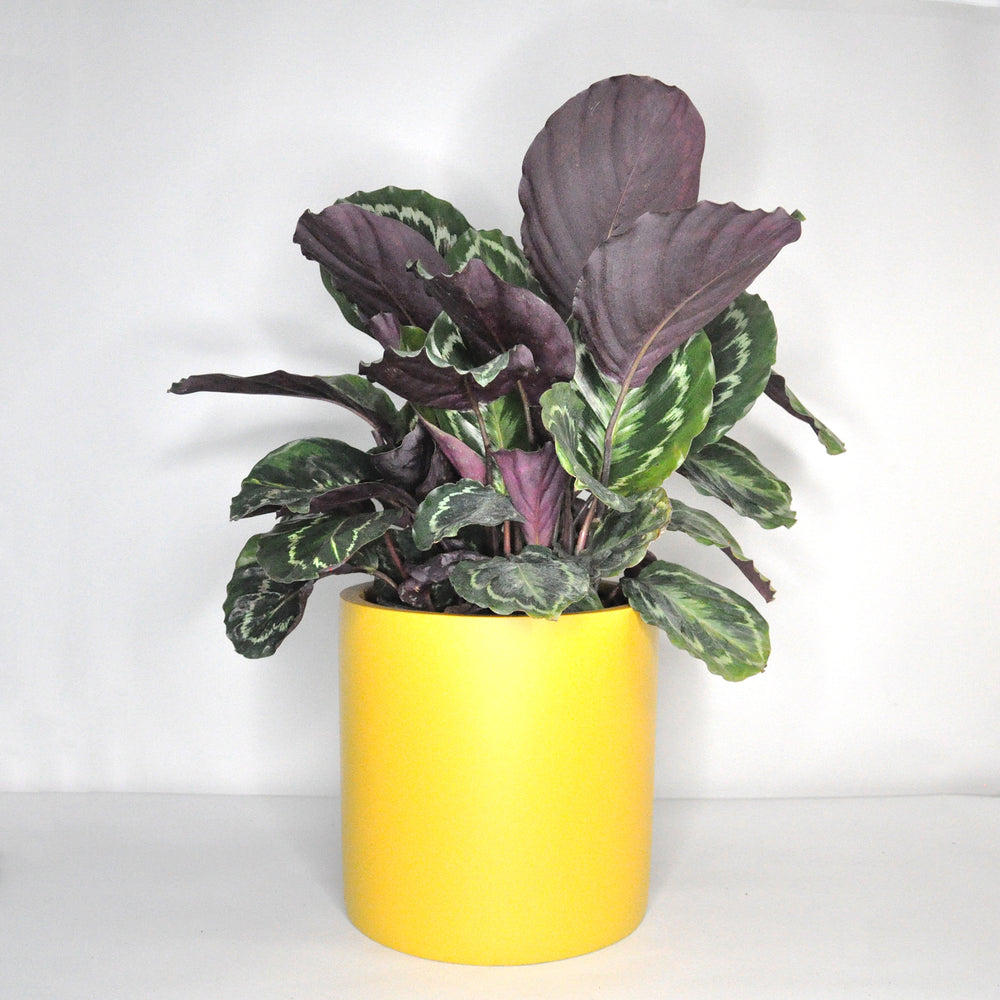 Load image into Gallery viewer, Calathea Medallion 8""